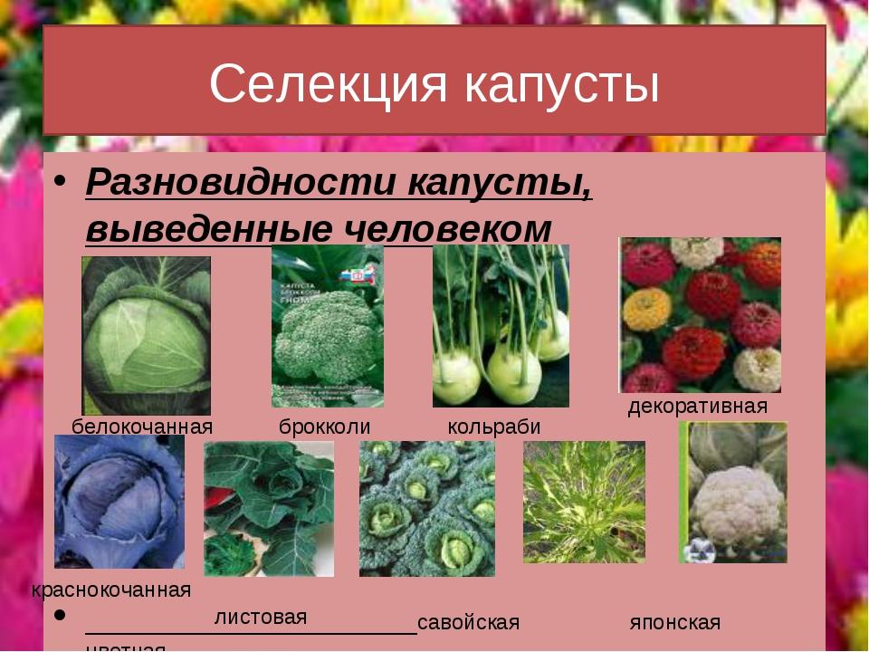 Селекция капусты Разновидности капусты, выведенные человеком савойская японск...