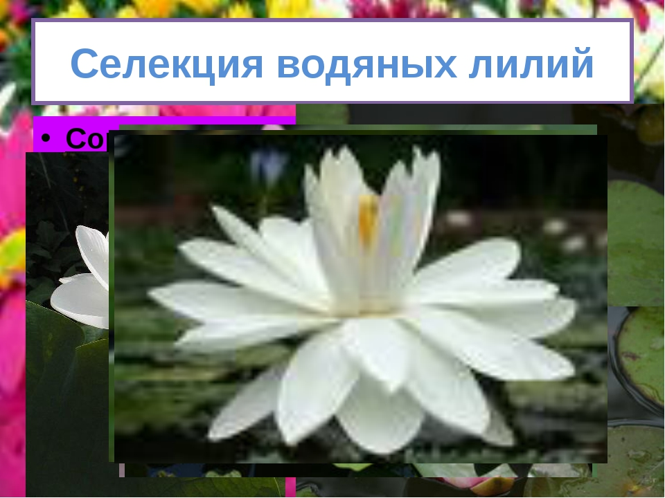 Селекция водяных лилий Сорта кувшинок