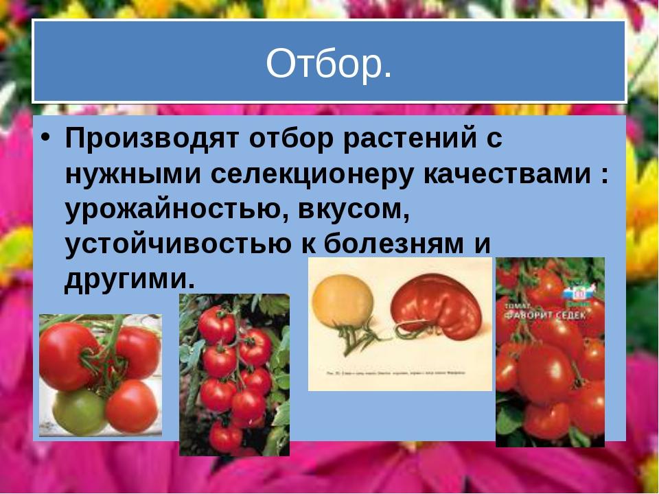 Отбор. Производят отбор растений с нужными селекционеру качествами : урожайно...