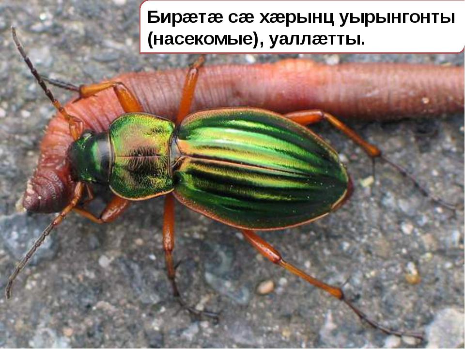 Бирæтæ сæ хæрынц уырынгонты (насекомые), уаллæтты.