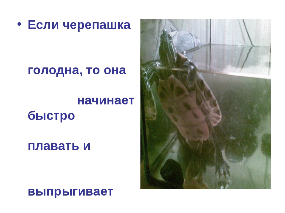 Если черепашка голодна, то она начинает быстро плавать и выпрыгивает на повер...