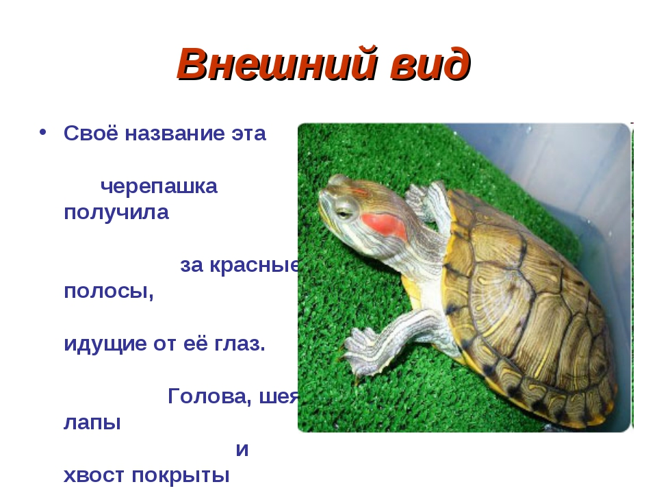 Внешний вид Своё название эта черепашка получила за красные полосы, идущие от...