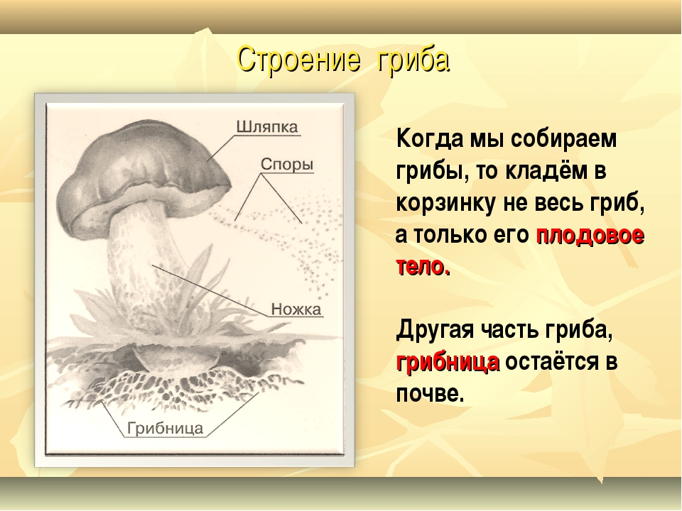 Строение гриба Когда мы собираем грибы, то кладём в корзинку не весь гриб, а...