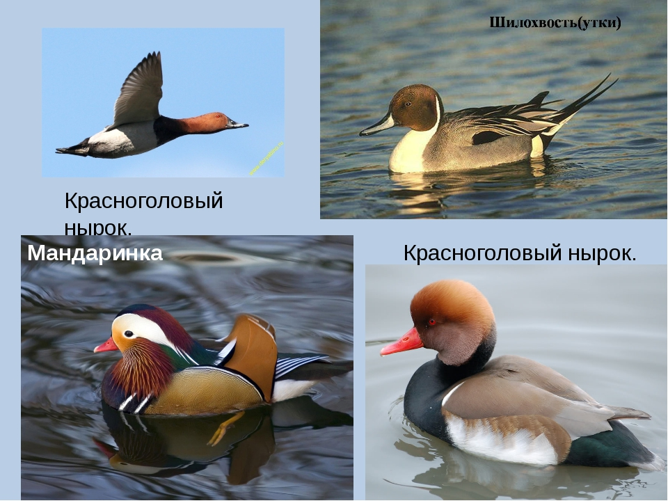 приготовить водоплавающие птицы список и картинки очередной чудо-аппарат весьма