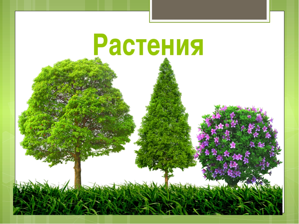 Растения 1 загадка: Дышат, растут. А ходить не могут. Что это? 2 загадка: Нам...
