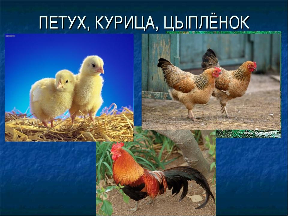 ПЕТУХ, КУРИЦА, ЦЫПЛЁНОК