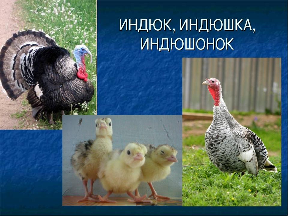 ИНДЮК, ИНДЮШКА, ИНДЮШОНОК