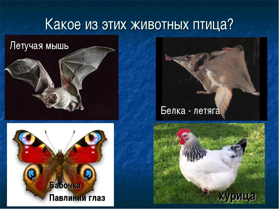 Какое из этих животных птица? Летучая мышь Белка - летяга Бабочка Павлиний гл...