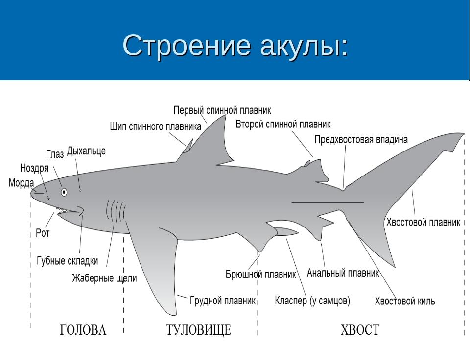 Строение акулы: