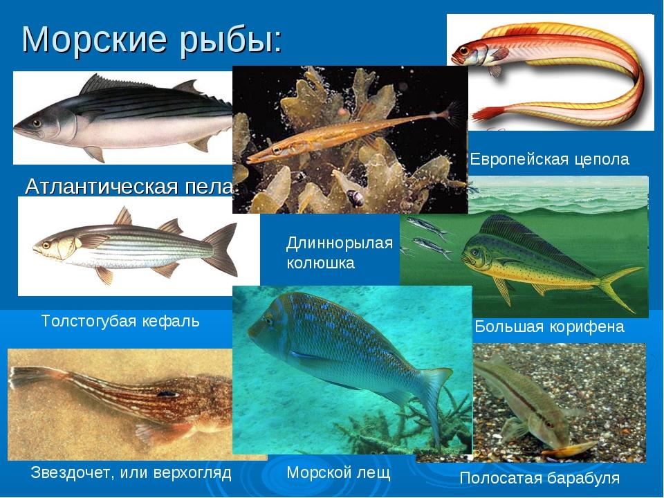Морские рыбы: Атлантическая пеламида Звездочет, или верхогляд Европейская цеп...