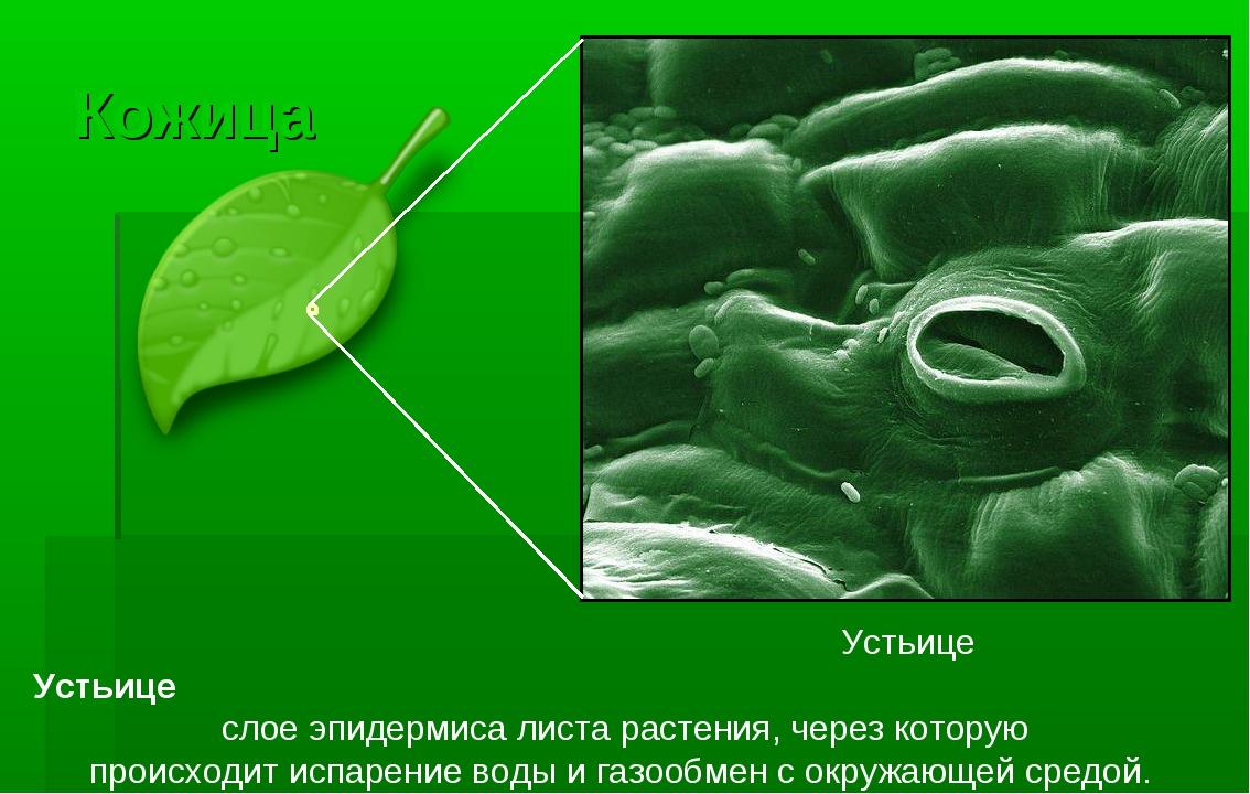 зимнее время биология описание и фото устьиц как сказали выше