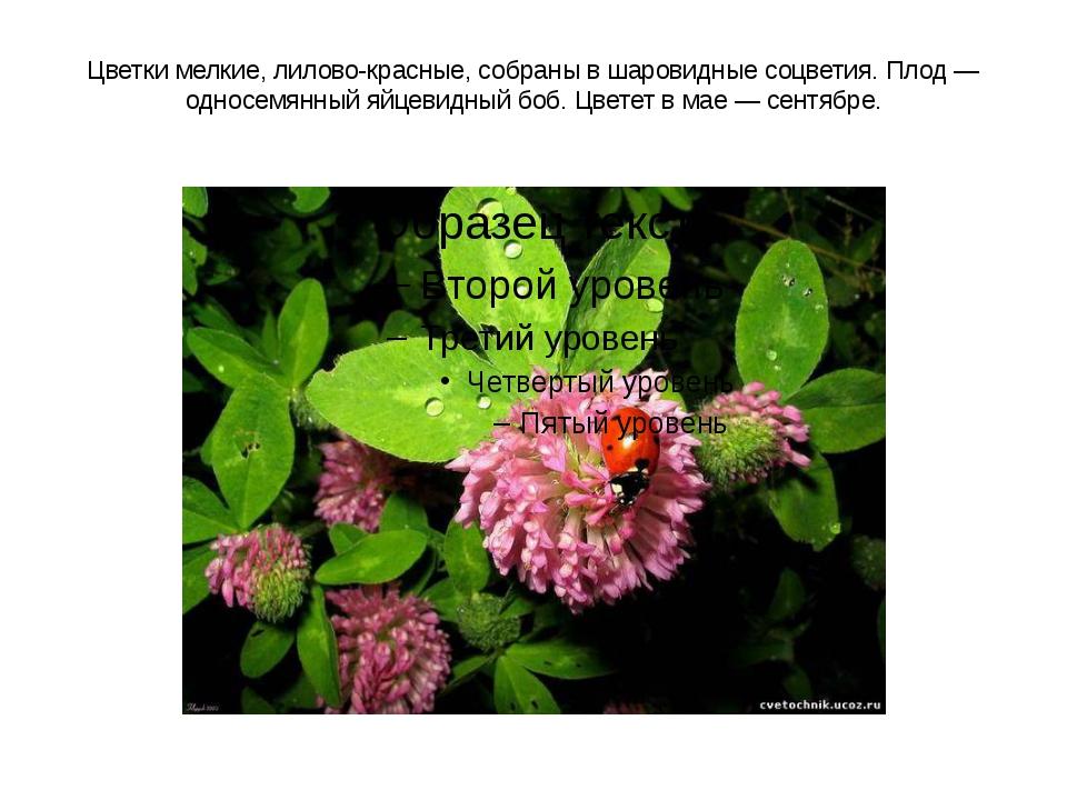 Цветки мелкие, лилово-красные, собраны в шаровидные соцветия. Плод — односемя...
