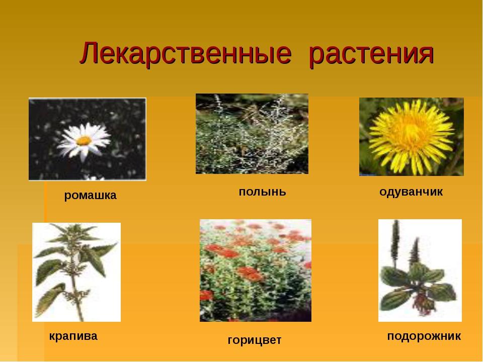 Лекарственные растения ромашка полынь одуванчик подорожник горицвет крапива
