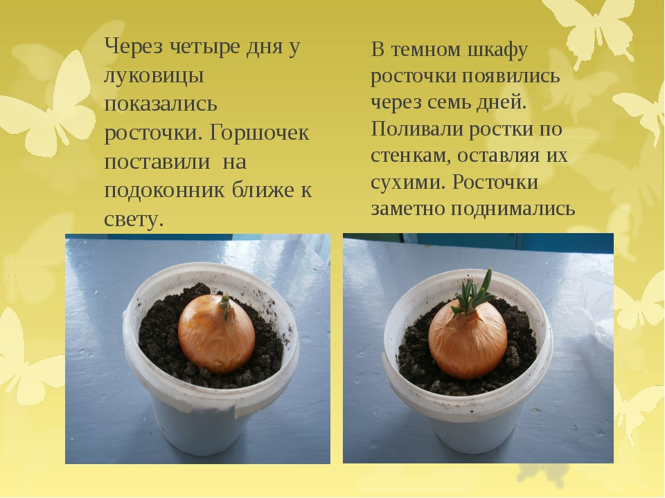 Через четыре дня у луковицы показались росточки. Горшочек поставили на подоко...