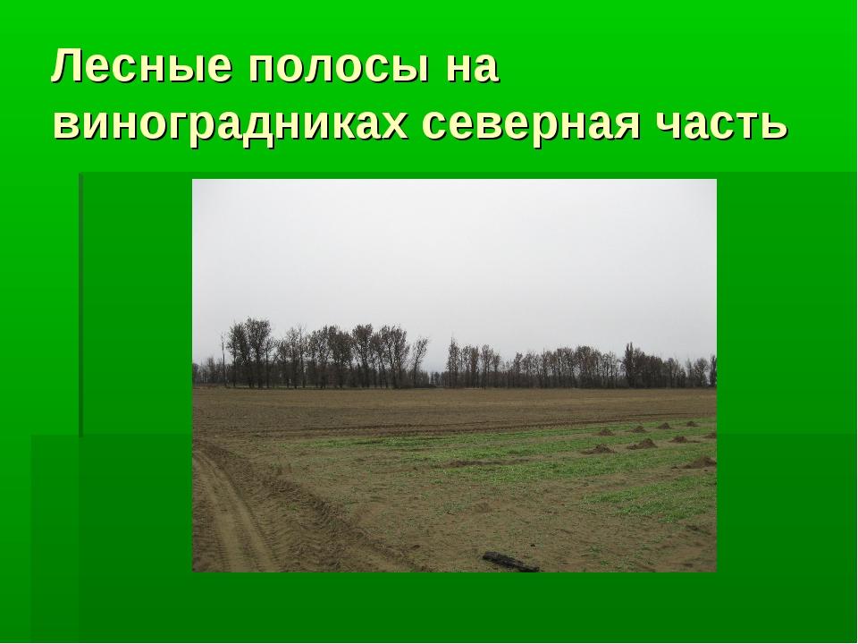 Лесные полосы на виноградниках северная часть