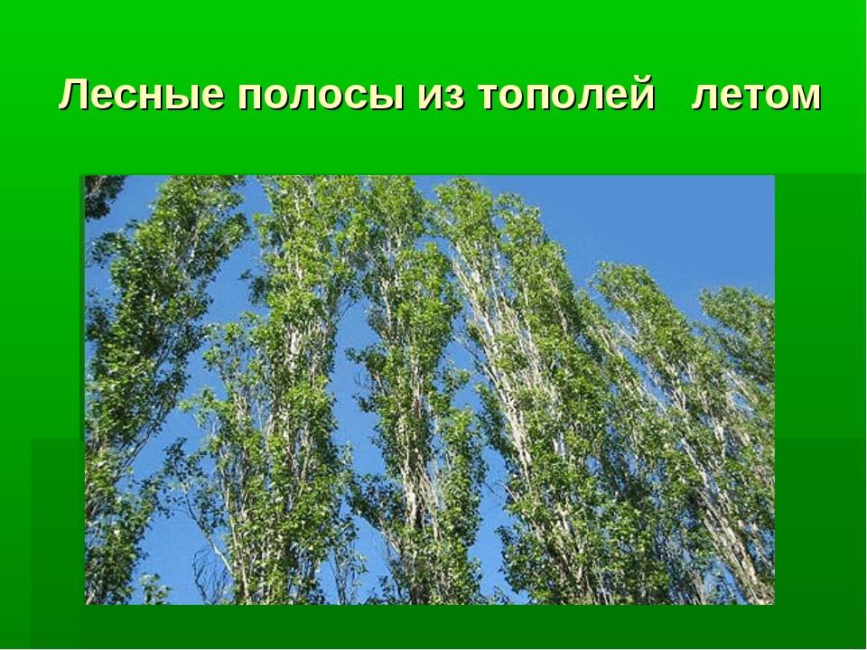 Лесные полосы из тополей летом