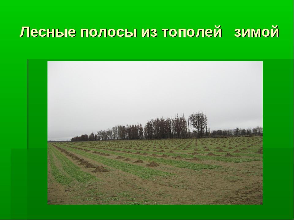 Лесные полосы из тополей зимой