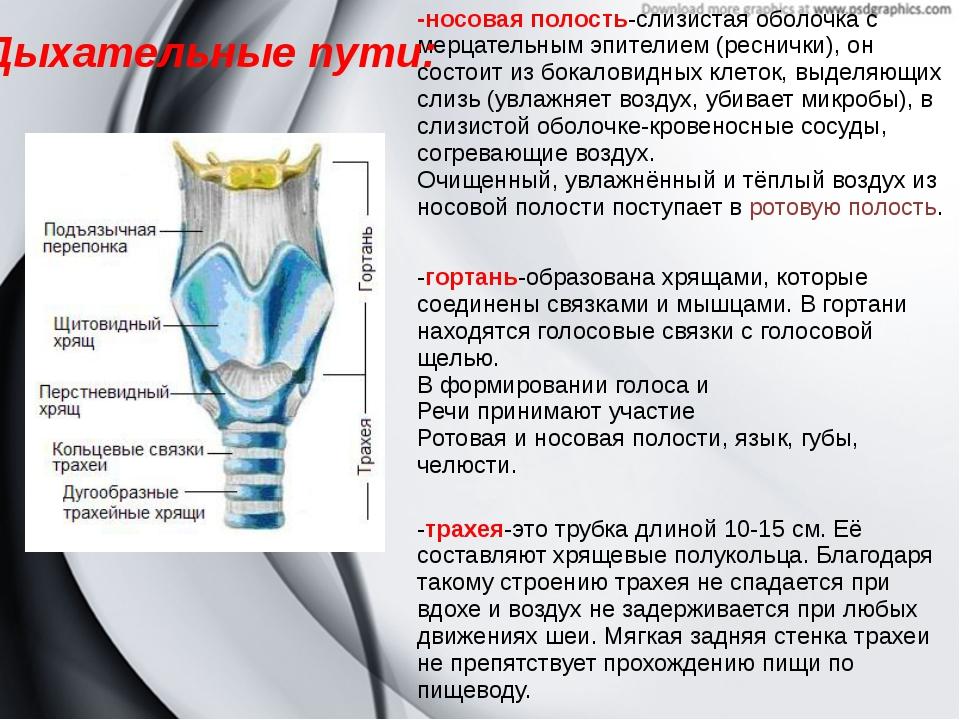Дыхательные пути: -носовая полость-слизистая оболочка с мерцательным эпителие...