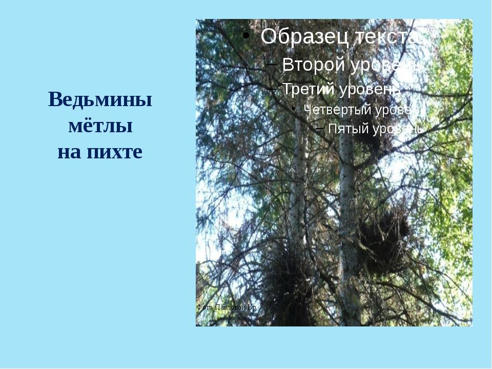 Ведьмины мётлы на пихте Фото Павловой Кр