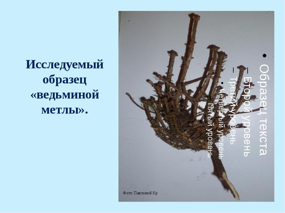 Исследуемый образец «ведьминой метлы». Фото Павловой Кр