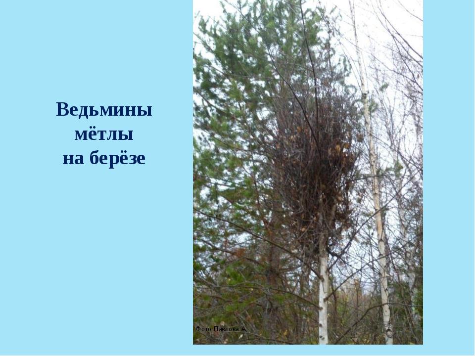 Ведьмины мётлы на берёзе Фото Павлова А