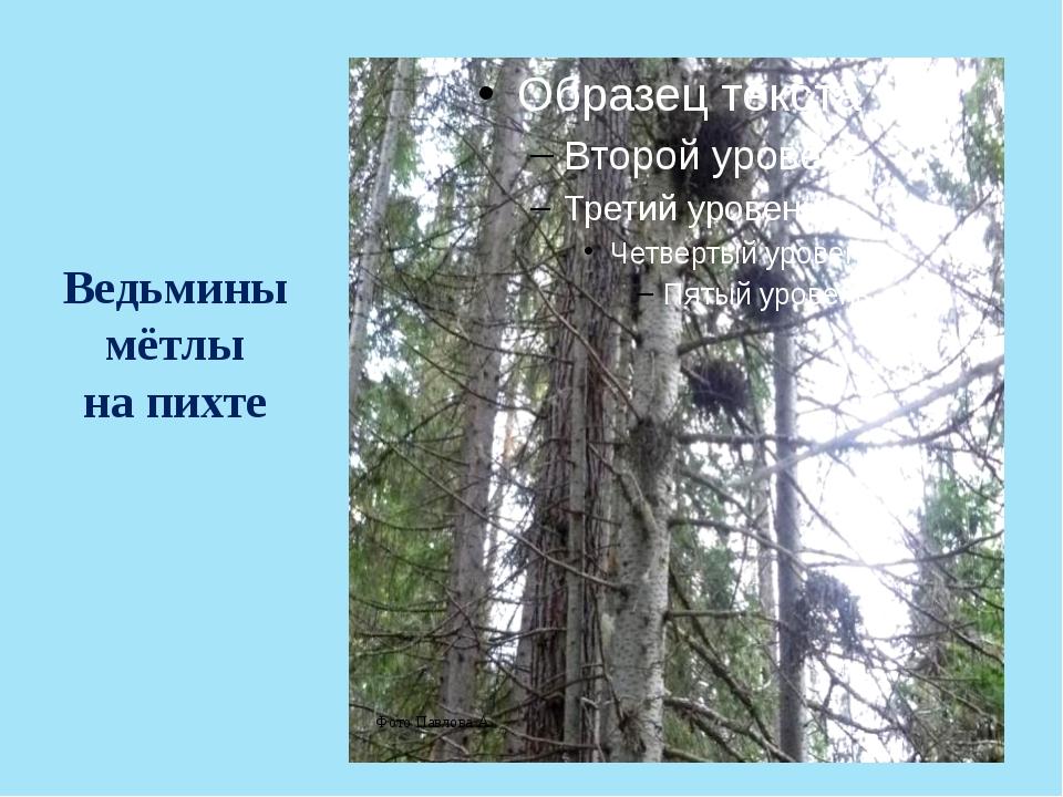 Ведьмины мётлы на пихте Фото Павлова А