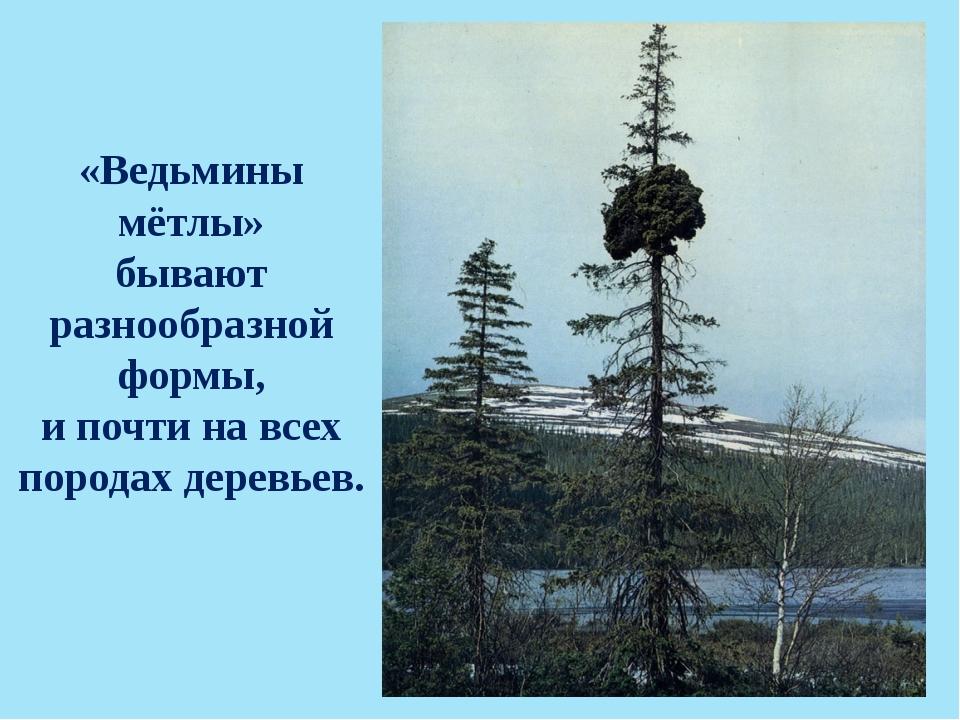 «Ведьмины мётлы» бывают разнообразной формы, и почти на всех породах деревьев.