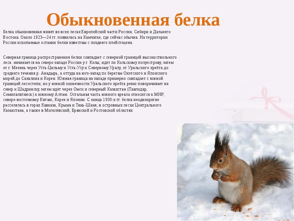 Обыкновенная белка Белка обыкновенная живёт во всех лесах Европейской части Р...