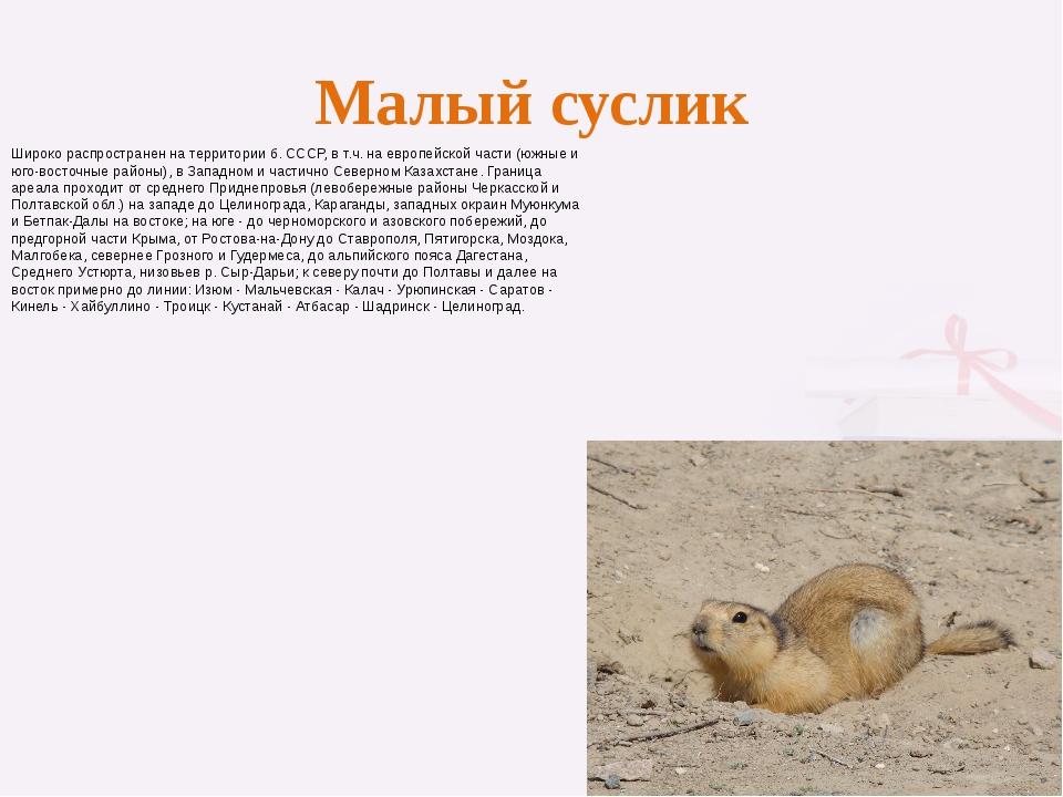 Малый суслик Широко распространен на территории б. СССР, в т.ч. на европейско...