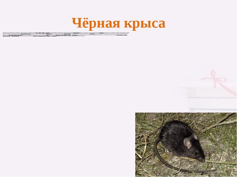 Чёрная крыса Чёрная крыса распространена космополитично: обитает в Европе, в...