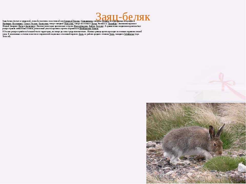Заяц-беляк Заяц-беляк обитает в тундровой, лесной и частично лесостепной зоне...