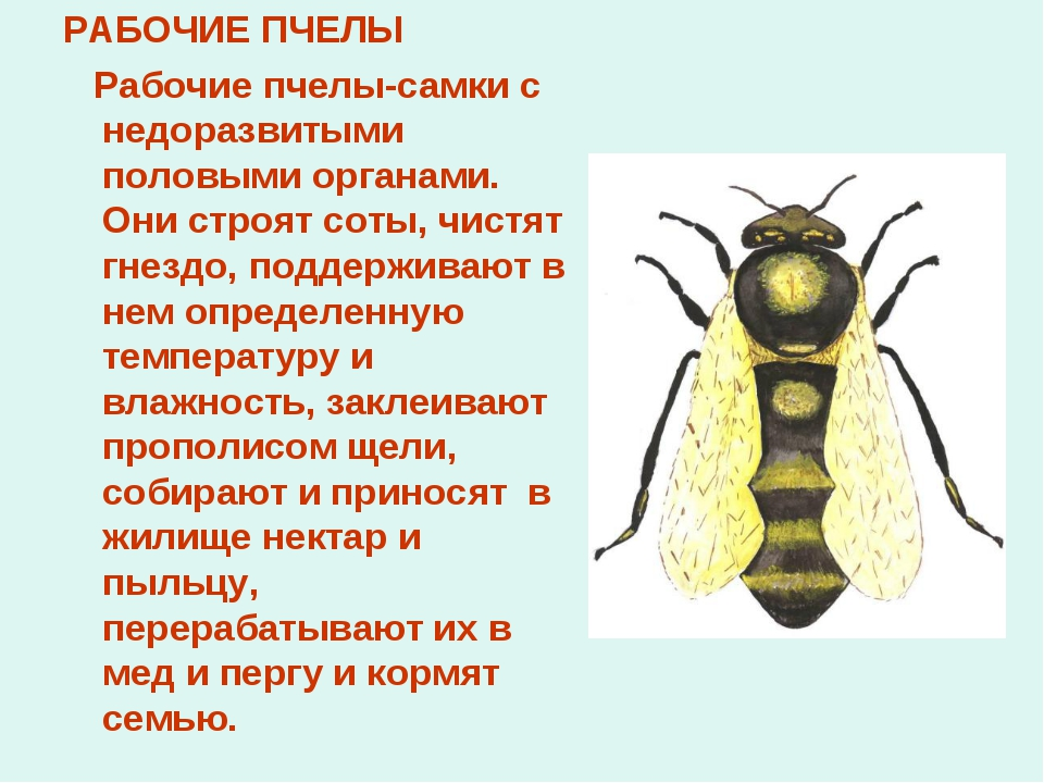 РАБОЧИЕ ПЧЕЛЫ Рабочие пчелы-самки с недоразвитыми половыми органами. Они стро...