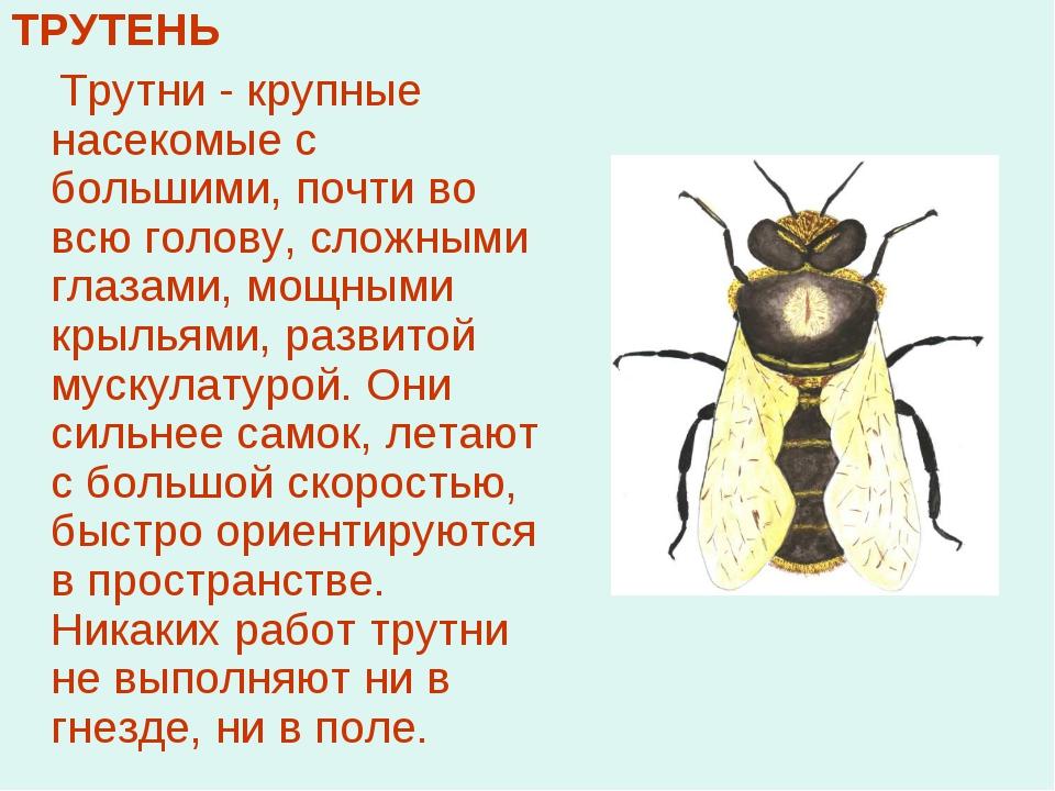 ТРУТЕНЬ Трутни - крупные насекомые с большими, почти во всю голову, сложными...