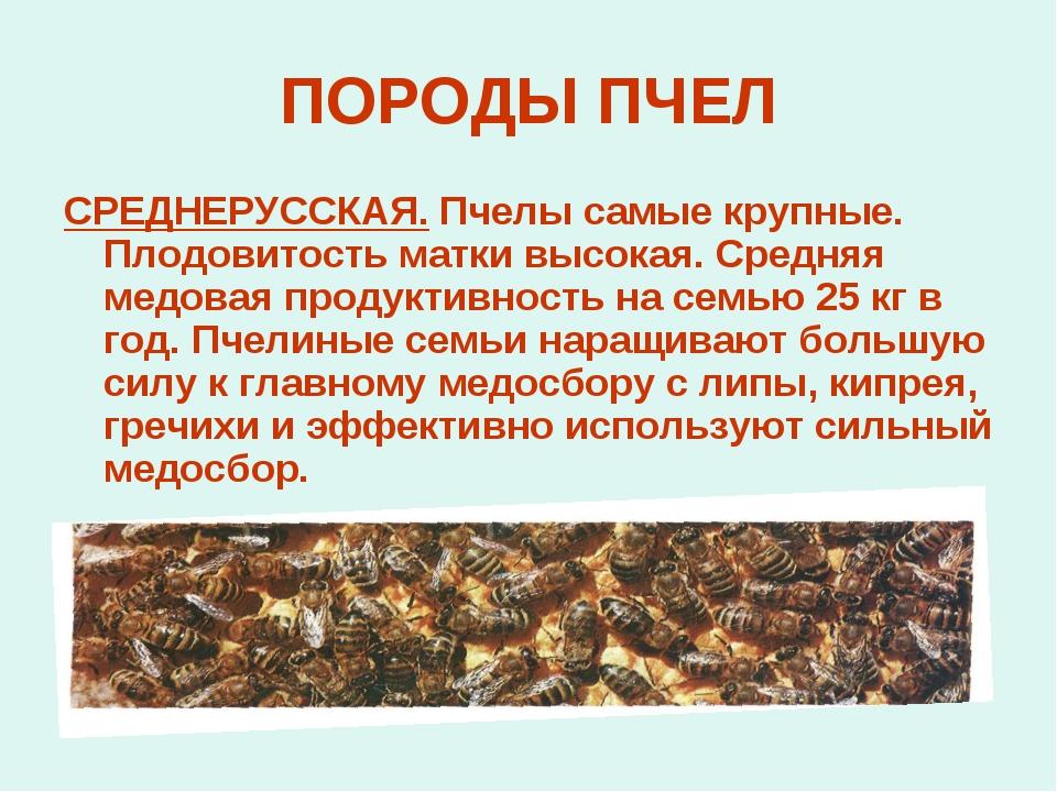 ПОРОДЫ ПЧЕЛ СРЕДНЕРУССКАЯ. Пчелы самые крупные. Плодовитость матки высокая. С...
