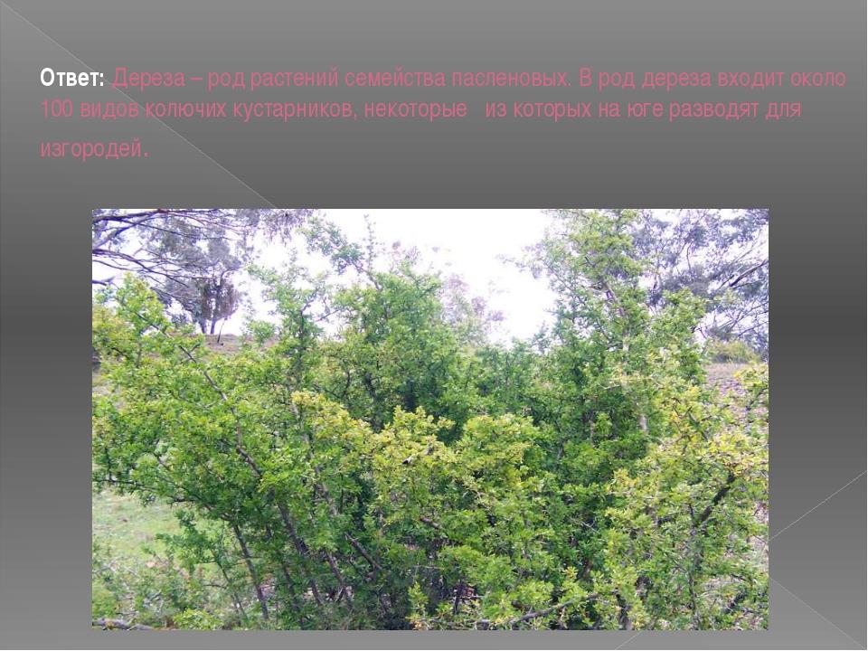 Ответ: Дереза – род растений семейства пасленовых. В род дереза входит около...