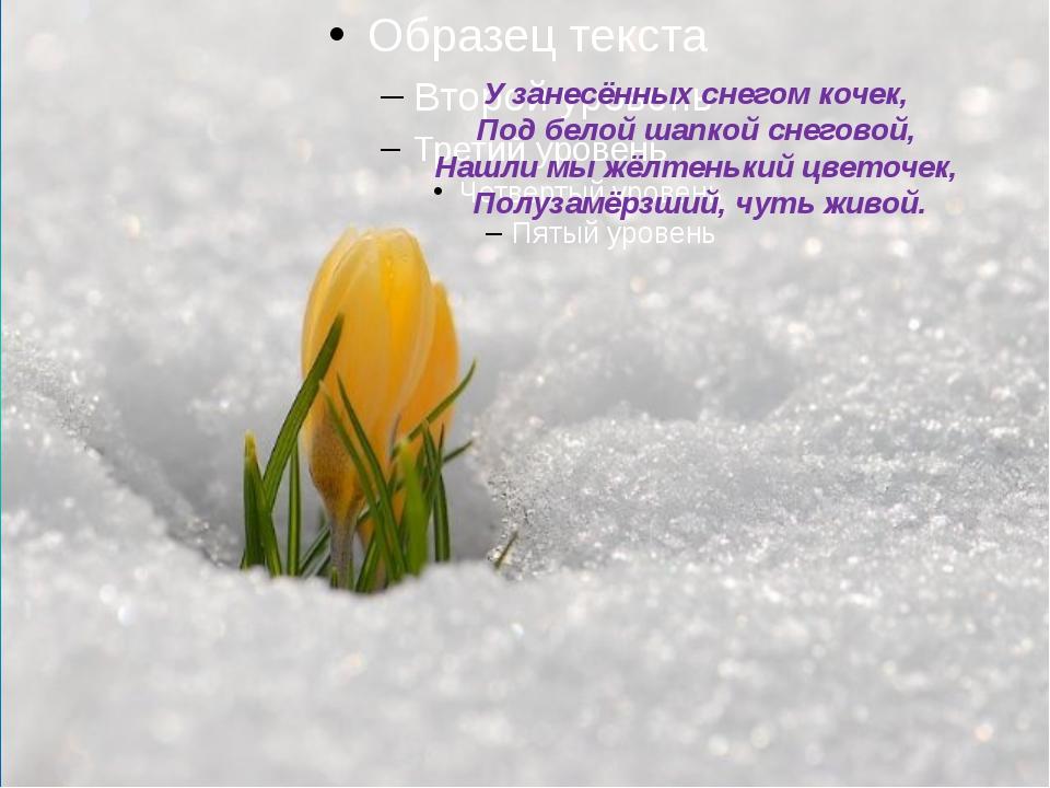 У занесённых снегом кочек, Под белой шапкой снеговой, Нашли мы жёлтенький...
