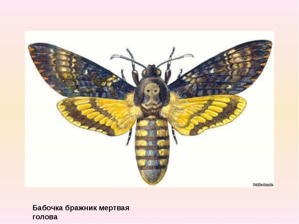 Бабочка бражник мертвая голова