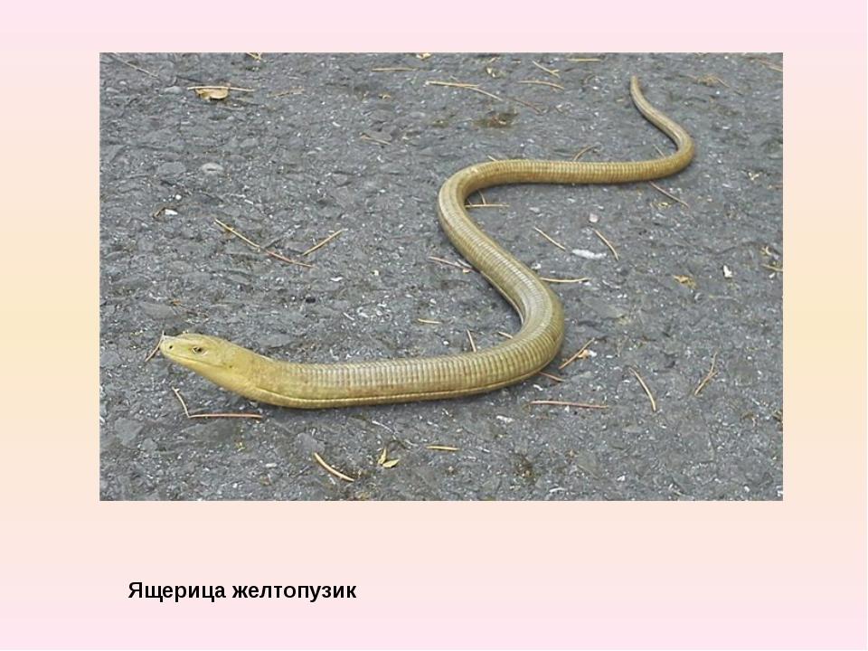 Ящерица желтопузик