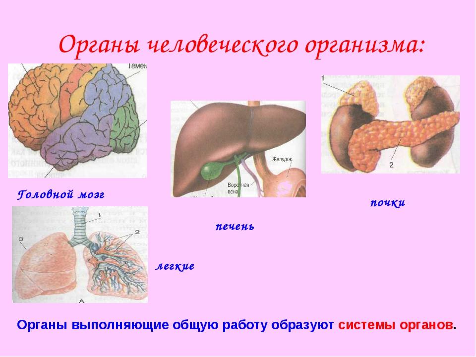 Органы человеческого организма: почки печень Головной мозг легкие Органы выпо...