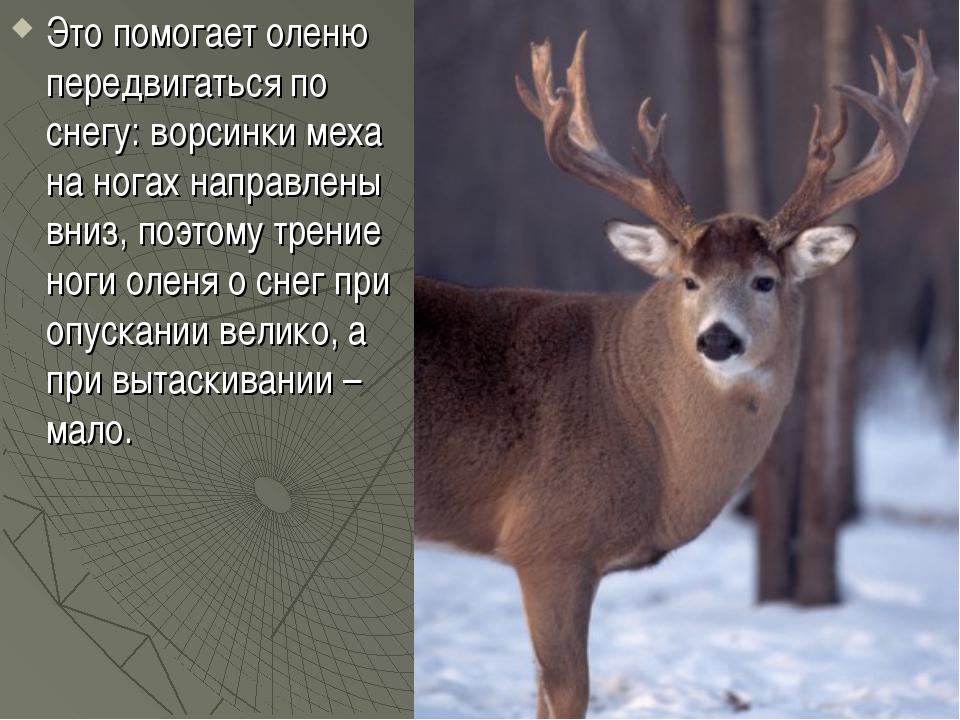 Это помогает оленю передвигаться по снегу: ворсинки меха на ногах направлены...