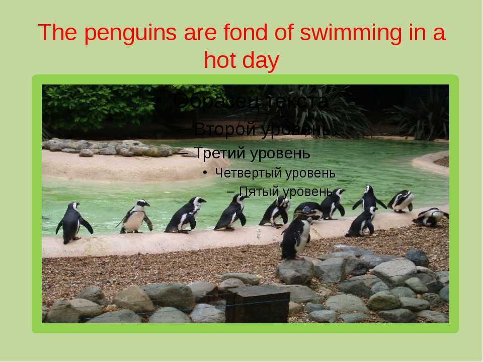The penguins are fond of swimming in a hot day
