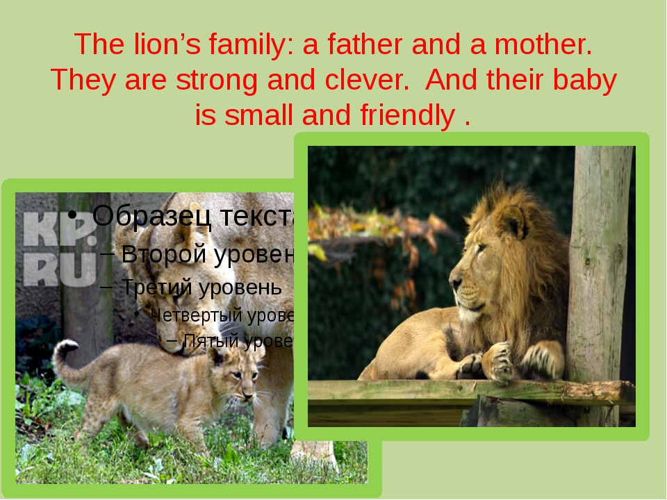 The lion's family: a father and a mother. They are strong and clever.  And th...