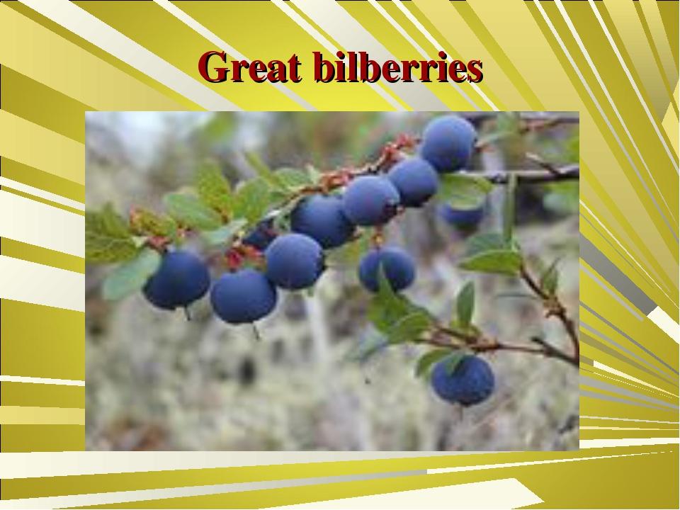 Great bilberries