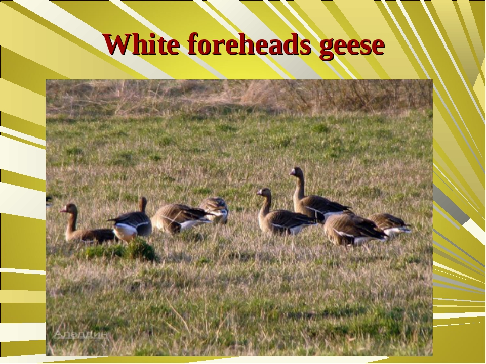 White foreheads geese