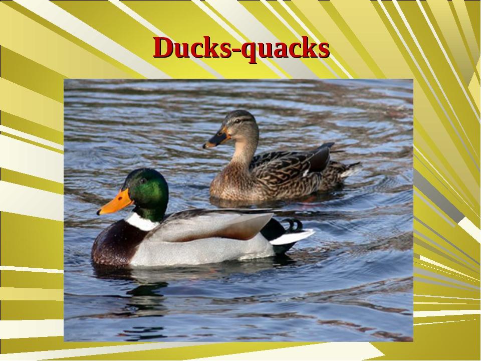 Ducks-quacks
