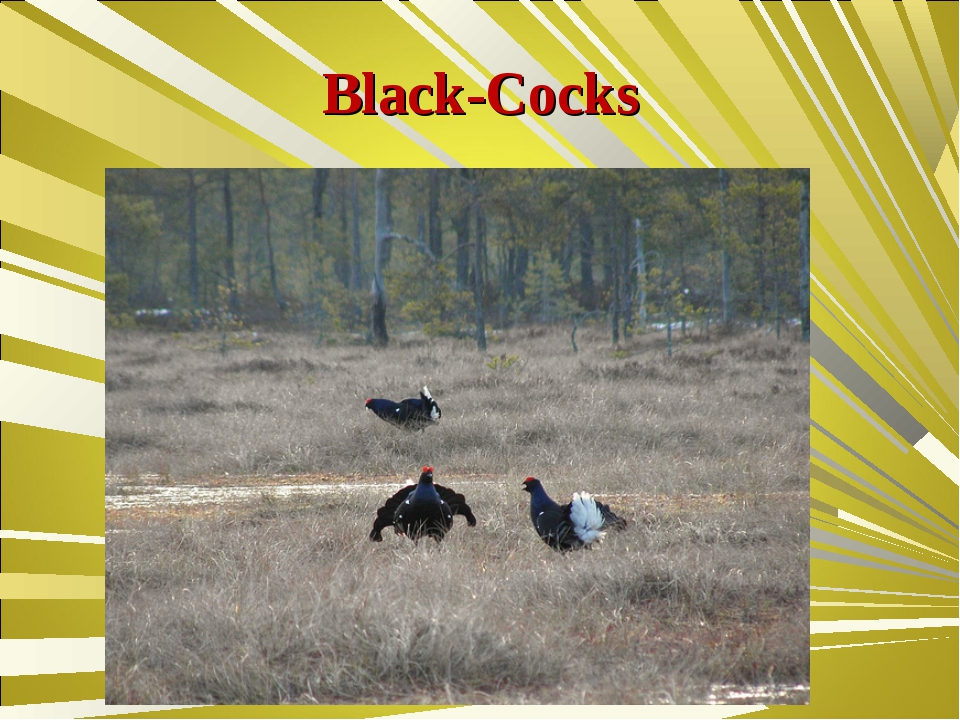 Black-Cocks