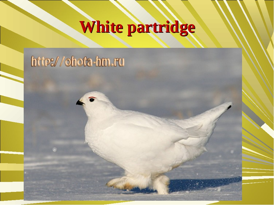 White partridge