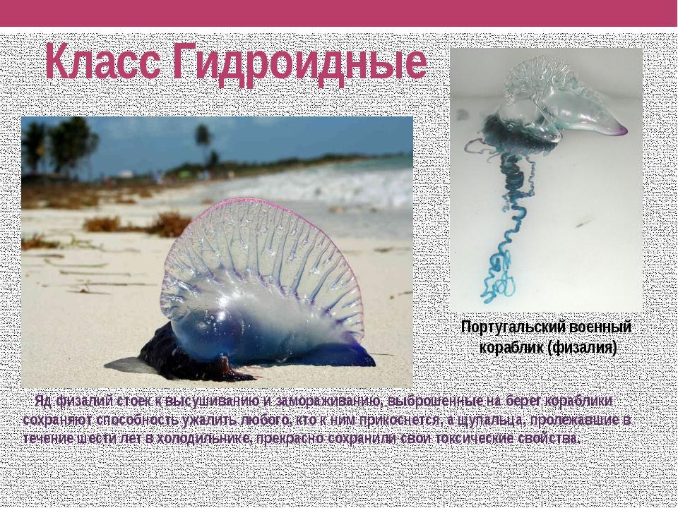 Класс Гидроидные Яд физалий стоек к высушиванию и замораживанию, выброшенные...