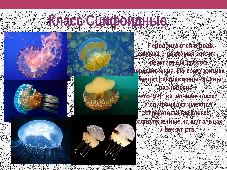 Класс Сцифоидные Передвигаются в воде, сжимая и разжимая зонтик - реактивный...