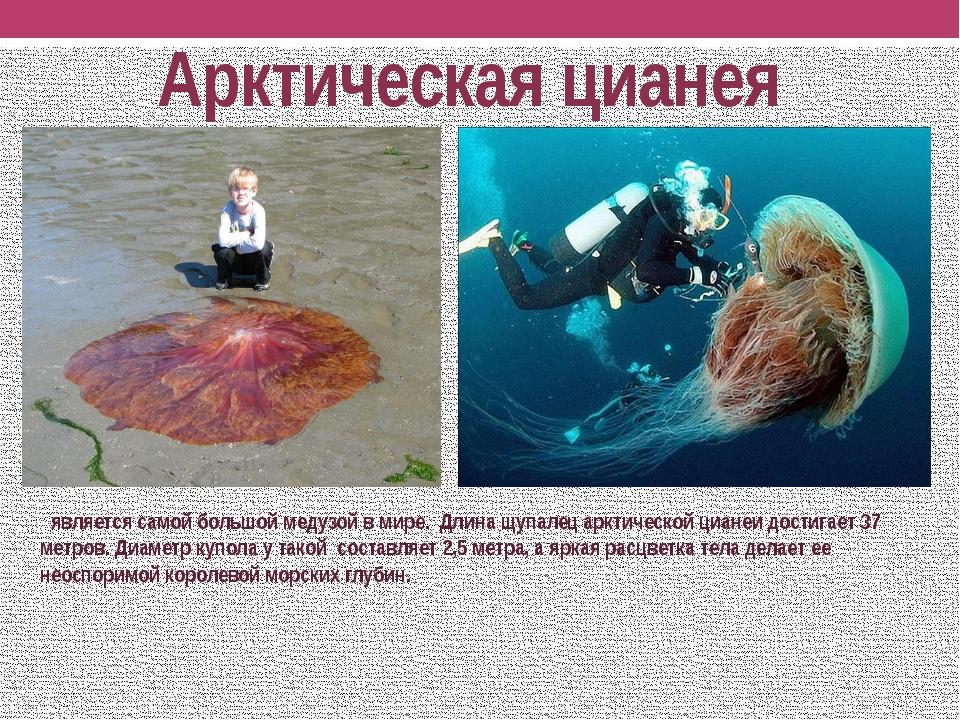 Арктическая цианея является самой большой медузой в мире. Длина щупалец аркти...